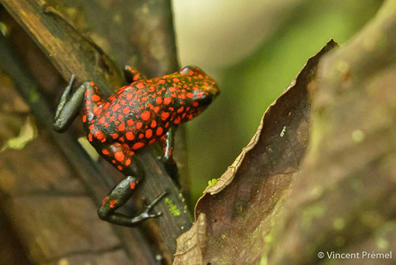 Little Devil Frog