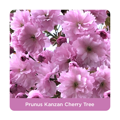 Prunus Kanzan Cherry Trees