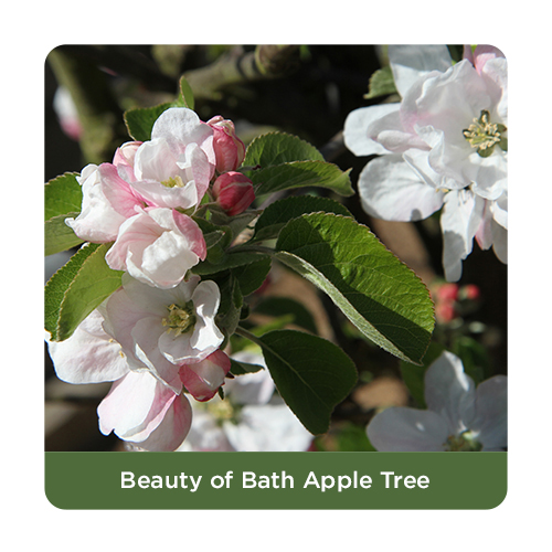 Beauty of Bath Apple Trees