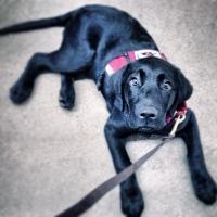 lab, black lab, service dog, puppy training, dog training, clicker, Frederick, Smart Dog