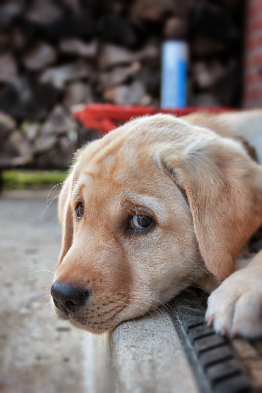 puppy, puppy training, dog training, service dog training, dog classes, Smart Dog, Frederick dog training,