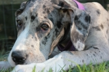 Great Dane, dog training, service dog, puppy, house training, potty training, Smart Dog, clicker, positive