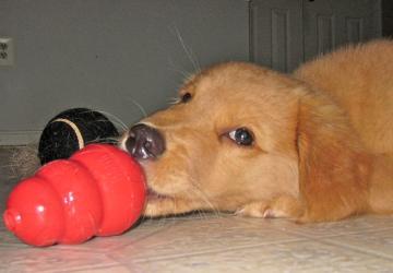 dog, dog training, Frederick, Smart Dog, clicker, positive, lab, labrador, service dog, assistance dog
