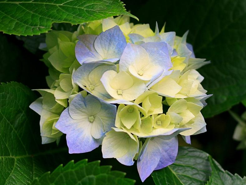 Blomma (Hydrangeas)