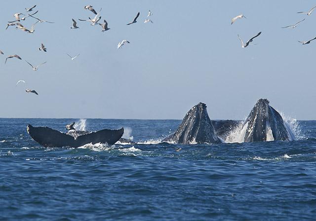 Five Humpback whales.