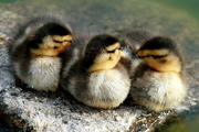Ducklings