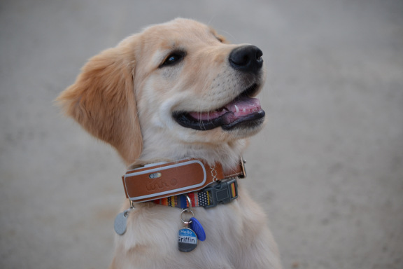 link dog collar