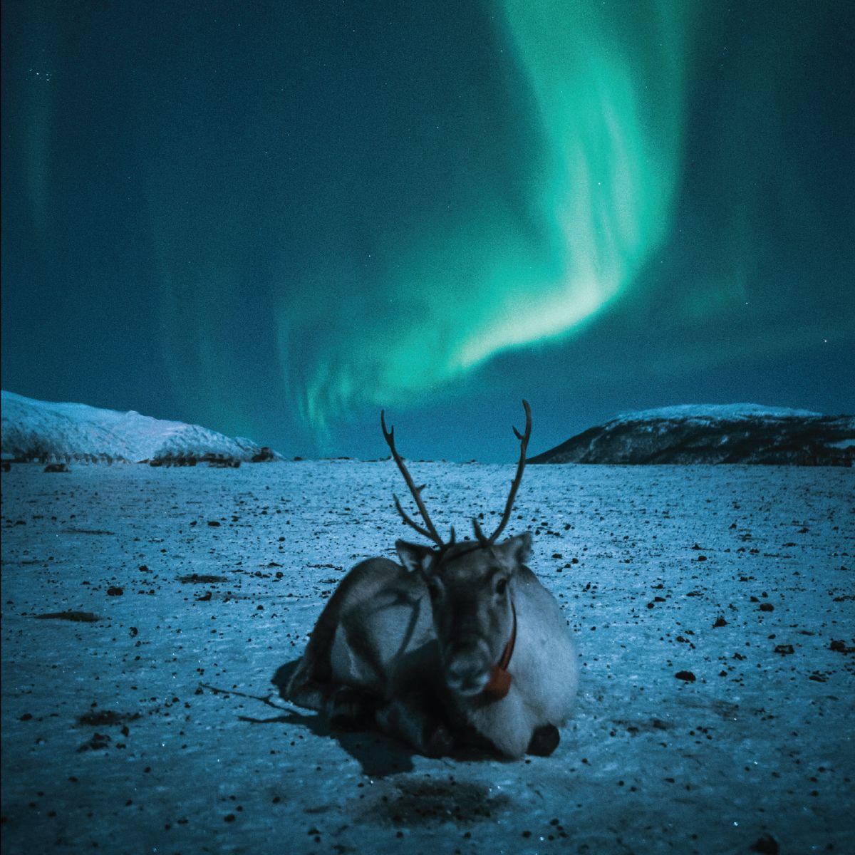 Arctic reindeer card