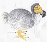 Dodo Etching by Debby Mason