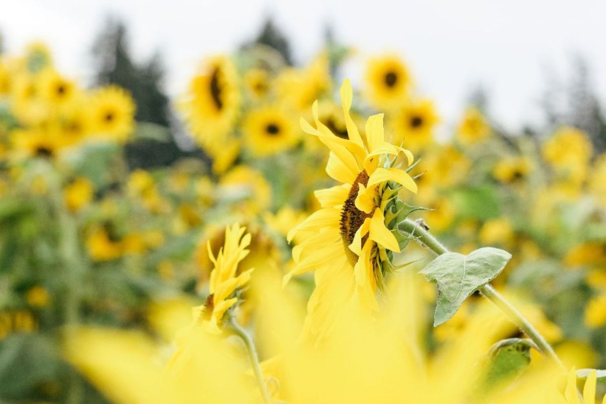 A field of sunflowers sways in the wind, angled to the left. The image is by <a href=