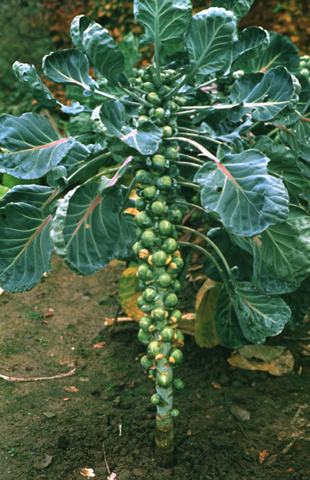 Brussels Sprouts plant