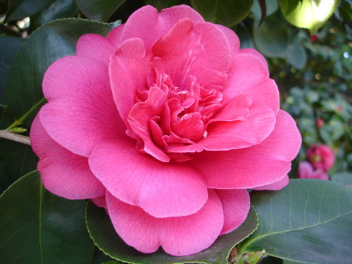 Camellia Great Eastern