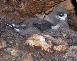 Black-capped Petrel nestling. Photo by James Goetz,  Cornell Lab of Ornithology