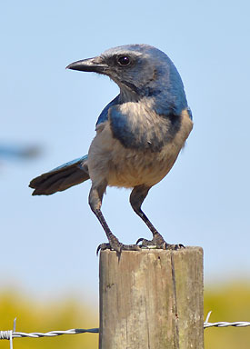 Florida Scrub-Jay by Louise Hunt