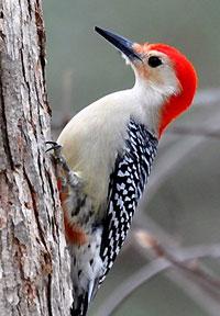 Red-bellied Woopecker