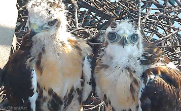 Two of the three nearly fledged hawk nestlings on our Bird Cams