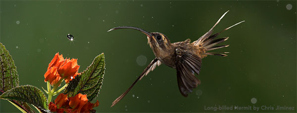 Long-billed Hermit by Chris Jiminez