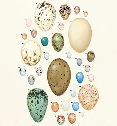 eggs poster - detail - by Virginia Greene