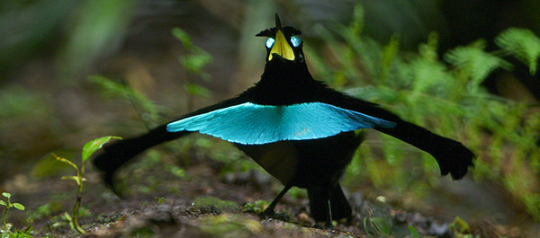 Western New Guinea form of the Superb Bird-of-Paradise