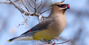 Cedar Waxwing by Tom HarlaN, TEXAS, 2016 GBBC
