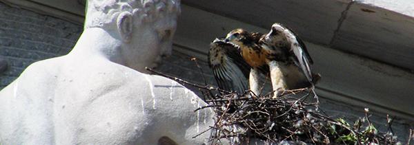 Hawk nest on statue