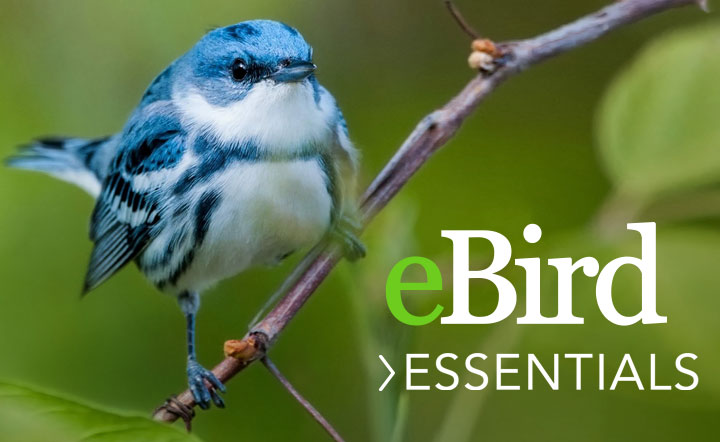 Cerulean Warbler by Andrew Simon