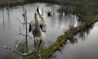 The male heron approaches the nest site
