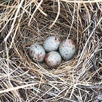 Oregon Vesper Sparrow nest and eggs