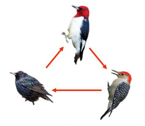 dominance hierarchy graphic