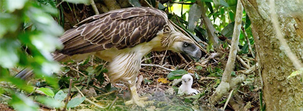 Philippine Eagle and chick