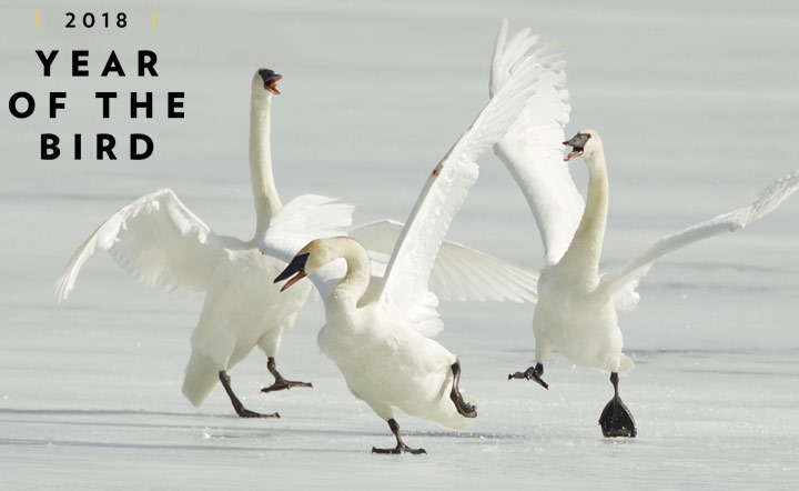How to have almost as much fun as these three swans seem to be having