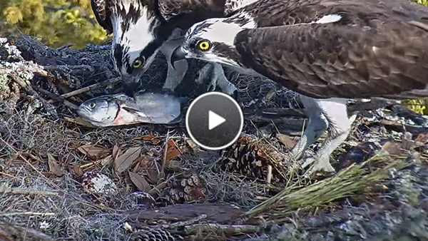 Watch the male Osprey deliver a fish to his mate.