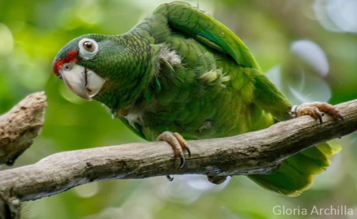 Puerto Rican parrot by Gloria Archilla via Birdshare