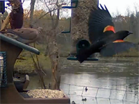 Red-winged Blackbird on the Cornell Feeders
