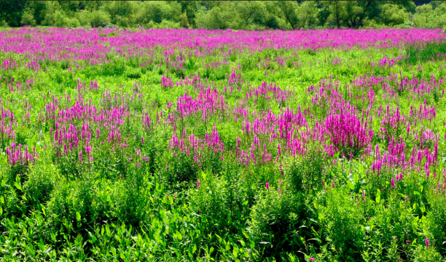 Wetland filled with purple loosestrife
