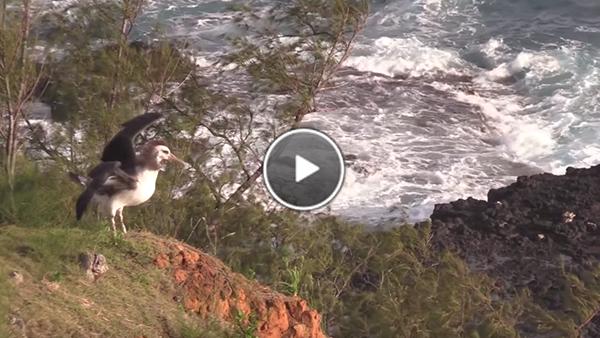 Kalama the Laysan Albatross chick prepares to fledge