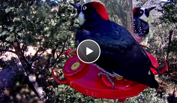 Acorn Woodpeckers Take Their Fill on the West Texas Hummingbird Cam