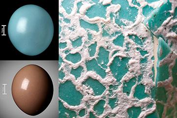 Glossy tinamou eggs and a closeup of the Guira Cuckoo's egg
