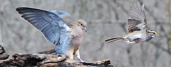 Mourning Dove and White-throated Sparrow