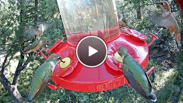 Hummingbirds Refuel at the Perky Pet Grand Master feeder