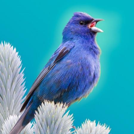 Indigo Bunting / Bird Song Hero