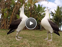 """Two Albatross """"Sky Moo"""" At Each Other"""