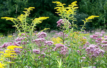 native wildflowers: goldenrod and joe pye weed