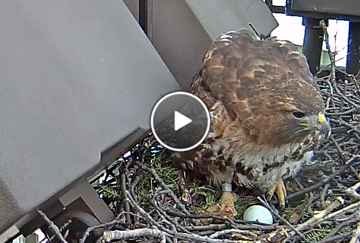 Big Red watches over her first egg