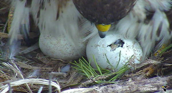 Red-tailed Hawk chick hatching as mother looks on