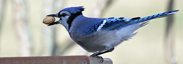 Blue Jay at feeder by Jacki Byer