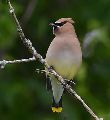 Cedar Waxwing with nest material