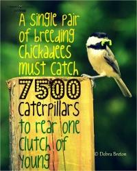 Chickadees dig caterpillars
