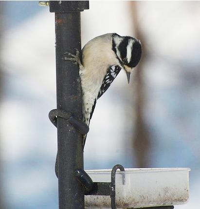 Downy Woodpecker at feeder.