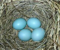 Eastern Bluebird clutch containing a double egg